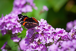 Red Admiral butterfly on phlox