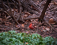 Male Northern Cardinal. Image taken with a Nikon D700 camera and 28-300 mm lens (ISO 1600, 300 mm, f/5.6, 1/500 sec)