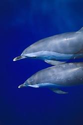 pantropical spotted dolphins, Stenella attenuata, bow-riding, Kona Coast, Big Island, Hawaii, USA, Pacific Ocean