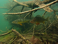 Yellow Perch<br /> <br /> Todd Pearsons/Engbertson Underwater Photography