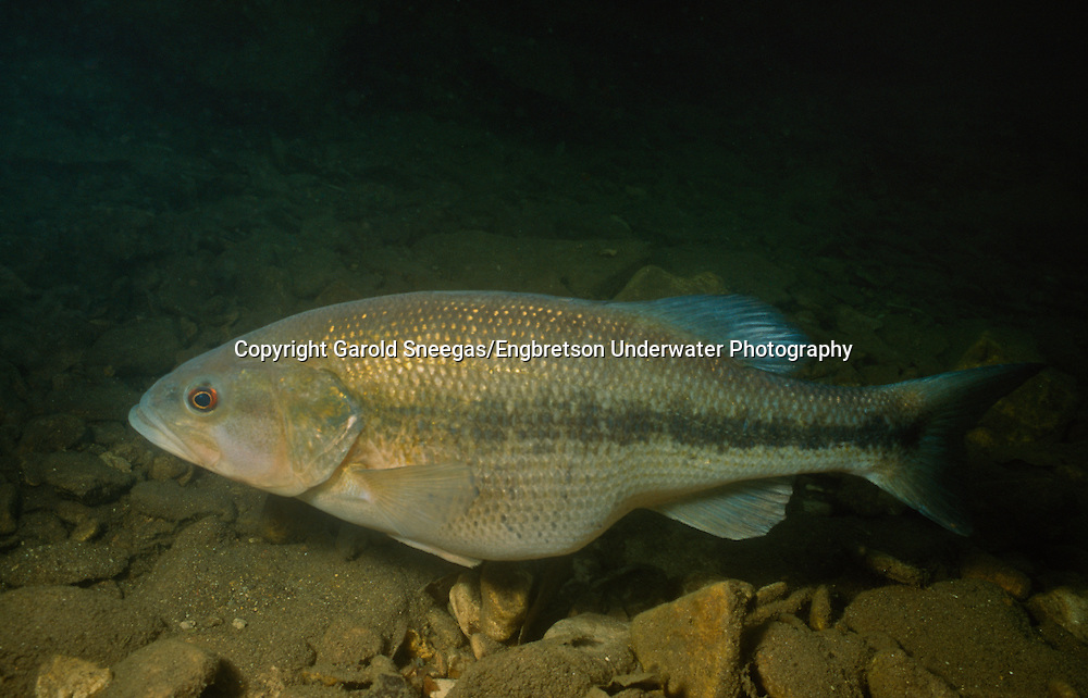Spotted Bass (Female spotted bass over a spawning site in a Flint Hills stream.)<br />
