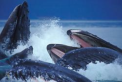 humpback whales; bubblenet feeding; juneau alaska; Megaptera noveangliae