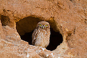 Little owl (athene noctua) standing at entrance to its nest. At just 20 centimetres in height this owl is, as its name implies, one of the smallest of its kind. Living off insects, small mammals and small birds. Its habit of hunting at dawn and dusk allows it to prey on both nocturnal and diurnal animals. Photographed in the Negev Desert in June