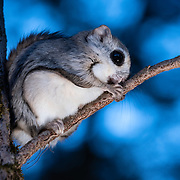 This is a Japanese dwarf flying squirrel (Pteromys volans orii), a sub-species of Siberian flying squirrel. Known locally as ezo-momonga, this sub-species is found only in Hokkaido, Japan. It is primarily nocturnal. Mature females measure up to 15cm, males up to 18cm (not including tail). These animals weigh up to 120g and are capable of gliding considerable distances. During flight, they use their patagia (membranes of skin between their forelimbs and hind limbs) and tails (10-12cm) to achieve lift, directional control and maneuvering capability. One study in Japan recorded a maximum glide distance exceeding 49m, though most flights fell into the 10m to 20m range. This individual has just emerged shortly after sunset from its nest, a cavity in the tree pictured. After preening for a bit, the flying squirrel ascended into the canopy to forage for the night. While these squirrels are known to nest in a number of tree species, they appear to prefer Sakhalin fir trees (Abies sachalinensis).