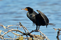 Double crested Cormorant Phalacrocarax auritus Ding Darling National Wildlife Refuge Sanibel Island Florida USA