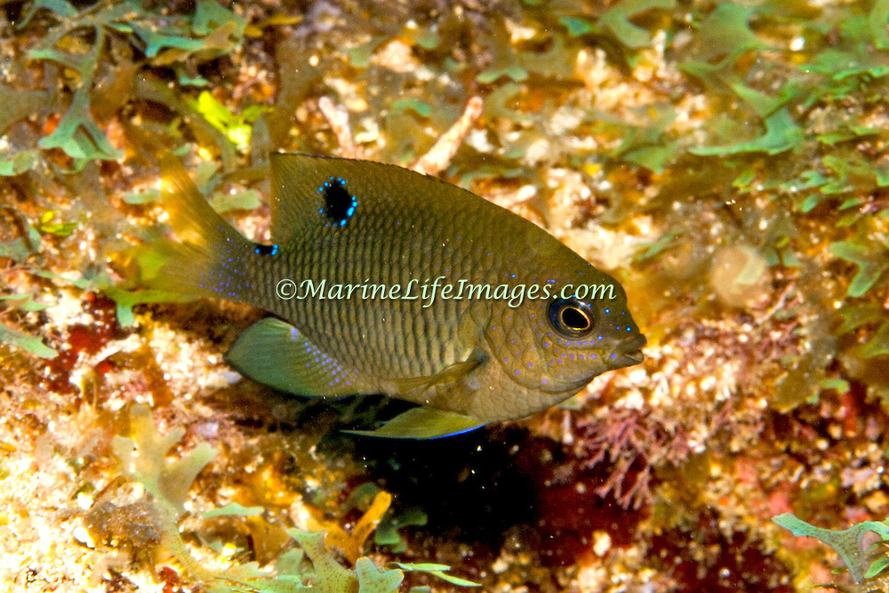 Dusky Damselfish inhabit shallow surgy reef and areas of rocky rubble in Tropical West Atlantic; picture taken Panama, near San Blas Islands.