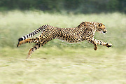 Cheetah <br /> Acinonyx jubatus<br /> Running <br /> Cheetah Conservation Fund, Namibia<br /> *Captive