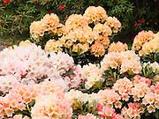 Spectacular hybrid rhododendron flowers bloom in Meerkerk Gardens, Whidbey Island, Washington (April 27, 2005)