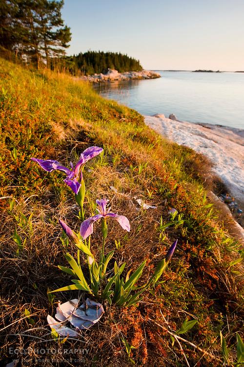 A blue flag iris on the coast of Maine's Great Wass Island near Jonesport. Nature Conservancy preserve.