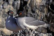 swallow-tailed gulls, Creagrus furcatus, Tower or Genovesa Island, Galapagos Islands, Ecuador,  ( Eastern Pacific Ocean )