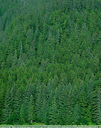 Distant view of a very green Pine forest on the side of a mountain in Seward, Alaska