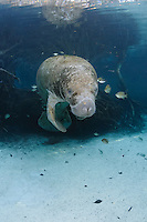 Florida manatee, Trichechus manatus latirostris, a subspecies of the West Indian manatee, endangered. A young manatee floats near a warm blue spring surrounded by fish, bream, Lepomis spp. The manatee is tolerating the fish attention as it is the price to pay for sharing the warm waters. Bream target dermis and dead skin on the manatee.  Submerged tree roots are in the background. Vertical orientation with blue water and light rays. Three Sisters Springs, Crystal River National Wildlife Refuge, Kings Bay, Crystal River, Citrus County, Florida USA.