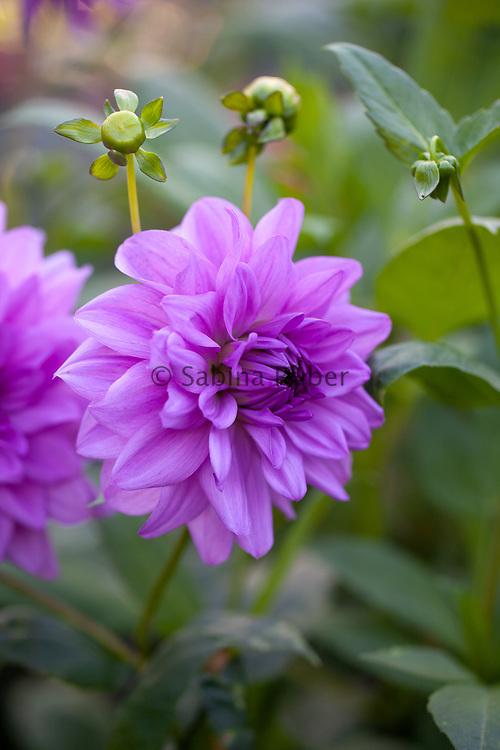 Dahlia 'Blue Boy' - decorative dahlia