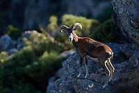 Mouflon/Ovis musimon/male on overlooking position/Parc naturel regional du Haut-Languedoc/Caroux/France