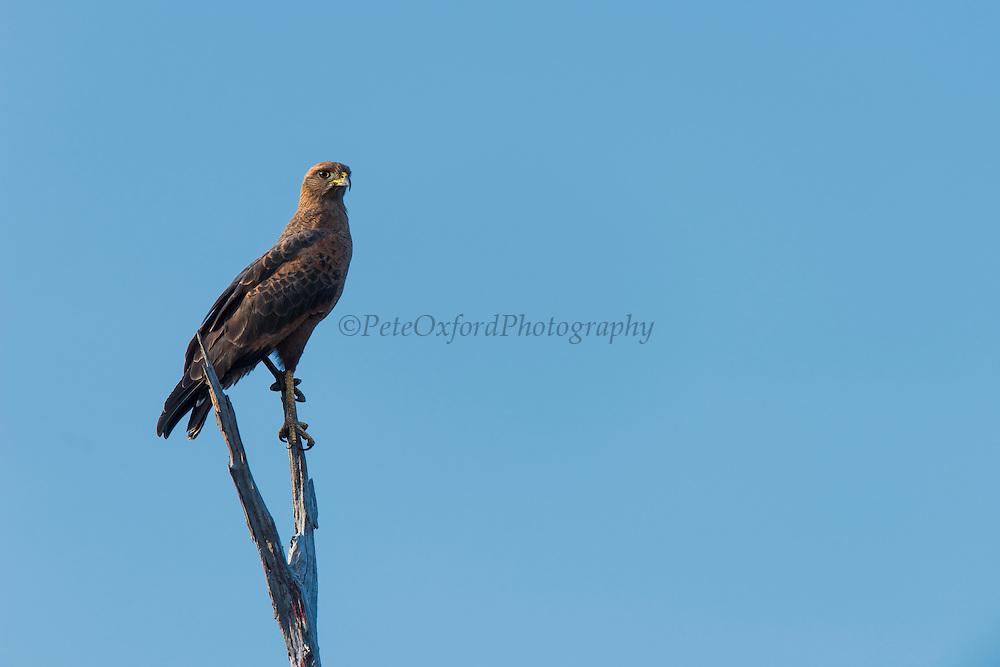 Savanna Hawk (Buteogallus meridionalis)<br /> Rupununi<br /> GUYANA<br /> South America