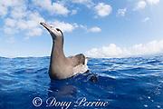 black-footed albatross, Phoebastria nigripes, floating in ocean off South Kona, Hawaii Island ( the Big Island ) Hawaii, USA ( Central Pacific Ocean )