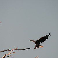 A Bald Eagle (Haliaeetus leucocephalus) lands in a dead tree in Montana's Gallatin Valley near Bozeman.
