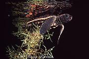 loggerhead turtle, Caretta caretta, hatchling hiding in clump of floating sargassum in open ocean, Florida, USA ( Western Atlantic Ocean )