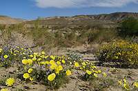 Wildflowers, Anza-Borrego Desert State Park California