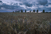Late evening over ripe fields of wheat crops dotted with cornflowers, near Mētriena, Latvia Ⓒ Davis Ulands | davisulands.com
