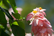 Mussaenda, a shrub with pink sepals and a yellow corolla in the Sunnyside Garden, St. George's, Grenada, the West Indies, the Caribbean