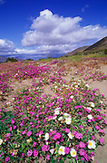 Desert Sand Verbena (Abronia villosa) and Evening Primrose (Oenothera deltoides), Anza-Borrego Desert State Park, California