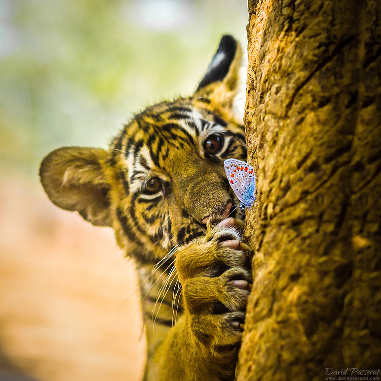 Tiger cub and butterfly