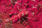 Night Shrimp.Lembeh Straits, Indonesia