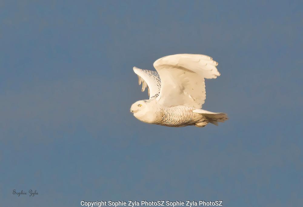 Snowy Owl Streamline Flight