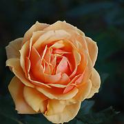 A rose blooming in a friend's yard in Flagtown, NJ