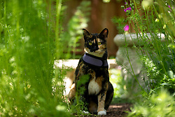 Zelda the cat takes in the scene in the back yard of her Oakland, Calif. home, Thursday, May 7, 2020. (Photo by D. Ross Cameron)