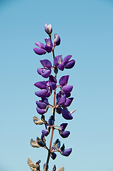 California wildflower travel: Blue bush lupine at Edgewood Park.Photo copyright Lee Foster.  Photo # cawild101769