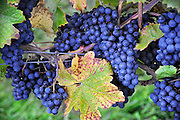 Nederland, Groesbeek, 17-9-2010Druiventrossen hangen in de wijngaard van wijnhoeve de Colonjes. Groesbeek noemt zich het wijndorp van Nederland omdat hiet verschillende wijngaarden zijn.Foto: Flip Franssen/Hollandse Hoogte