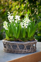 Forced hyacinths in a shallow container placed within a woven basket