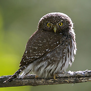 Northern pygmy owl (Glaucidium gnoma) in Montana.