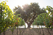 A backlit tree and vineyards, at Baglio di Pianetto winery in the highlands above Palermo, Sicily.