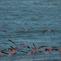 Flamingos take off from a windy beach of Laguna Amarga, near Torres del Paine National Park.