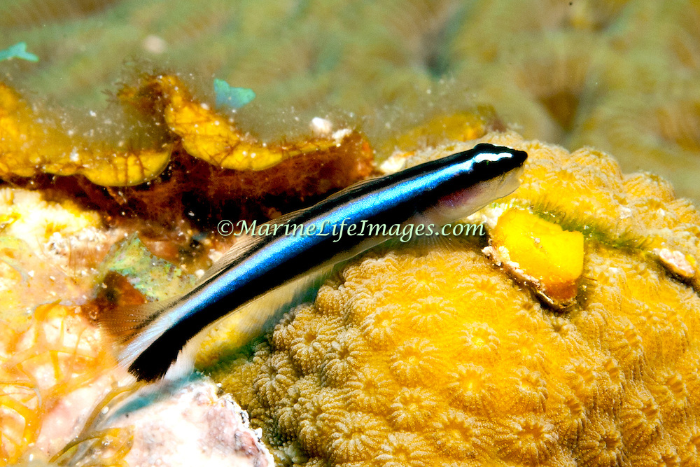 Caribbean Neon Goby a cleaner fish, perch on cleaner station coral heads in Belize and Honduras; picture taken Roatan, Honduras.