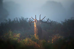 © London News Pictures. 06/10/2013. Richmond, London, UK.  A deer stag calling out in Autumn early morning mist in Richmond Park, West London. The UK is experiencing an unusually warm start to the Autumn with temperatures reaching 20 degrees in parts.  Photo credit: Ben Cawthra/LNP