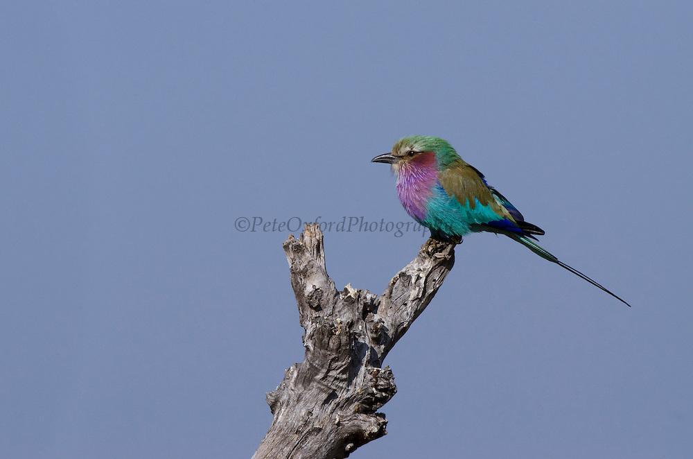 Lilac-breasted Roller (Coracias caudatus)<br /> Moremi Game Reserve, Okavango Delta<br /> BOTSWANA<br /> HABITAT & RANGE: Open woodland and savannah. Sub-Saharan Africa and Arabian Peninsula.