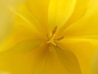 Spring Tulip.  ©2019 Karen Bobotas Photographer