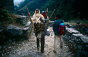 High in the Nepali Himalayan foothills, an elderly woman is carried downhill by a relative for medical attention. On this mountain path that continues downhill to the nearest village, beyond which there is a road and transport to the nearest hospital, two men accompany the elder family member with overnight possessions. The old lady sits on a makeshift carrying chair that fits on to the back of a man who stoops under the weight of his human load. This area is known as the Annapurna Sanctuary in central Nepal, a popular trekking and adventure route to the highest Himalayan peaks. All transport to and from these regions is by mountain tracks like this and residents in the smallest villages travel on foot on by yak.
