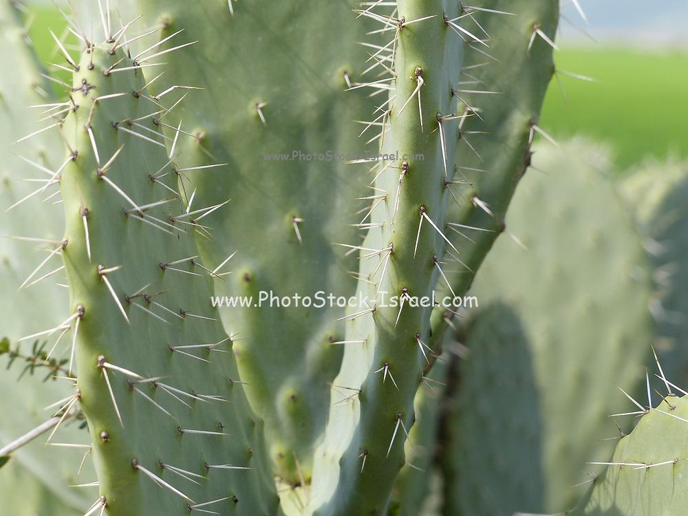 Tzabar, Cactus opuntia - Israeli symbol