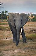 African elephant (Loxodonta africana) photographed in 1983 in Masai Mara National Park, Kenya.