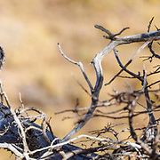 An American Kestrel perched on a branch in Torres del Paine National Park in Chile, South America.
