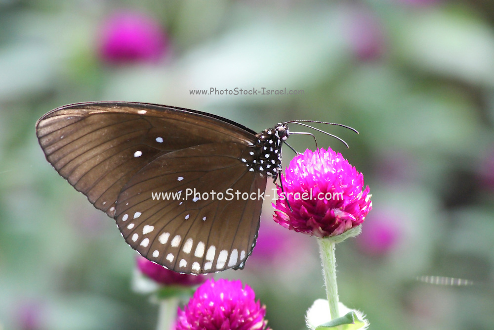 Common Crow (Euploea core) is a common butterfly found in South Asia. In India it is also sometimes referred to as the Common Indian Crow, and in Australia as the Australian Crow. It belongs to the Crows and Tigers subfamily of the Nymphalidae (Brushfooted butterflies). Photographed in Cambodia