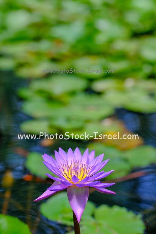 flowering purple waterlilies in a pond. Photographed in Israel in August
