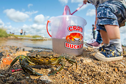 Shore crab Carcinus maenas, adult that has been caught whilst crabbing and is about to be put back, Walberswick, Suffolk, August