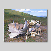 Alaska. Becharof National Wildlife refuge. Entwined Moose. (Alces alces) antlers and skulls sitting on the tundra.