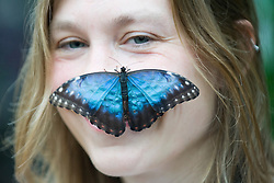 © Licensed to London News Pictures. 25/01/2012. Woking, UK.  RHS Garden worker Cara Smith poses with an Blue Morpho butterfly at a photo call for 'Butterflies in the Glasshouse' at RHS Garden Wisley in Woking, Surrey on January 25th, 2012. For four weeks the greenhouse at RHS Wisley is transformed by over one thousand colourful butterflies which only live for a few weeks. Photo credit : Ben Cawthra/LNP